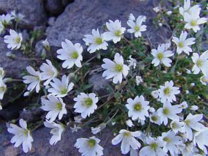 Купить семена, растение – Диходон ясколковый (Cerastium cerastoides)