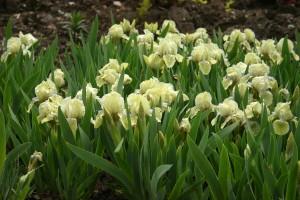 Купить семена, растение – Ирис карликовый (Iris pumila)