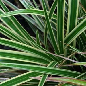 Купить семена, растение – Осока Морроу Variegata (Carex morrowii)
