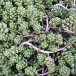 Купить семена, растение – Очиток коротколистный (Sedum brevifolium)