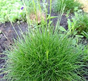 Купить семена, растение – Овсяница валлисская (Festuca valesiaca)