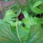 Купить семена, растение – Триллиум прямостоящий белый (Trillium erectum album)
