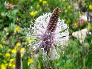Купить семена, растение – Подорожник ланцетолистный (Plantago lanceolata)