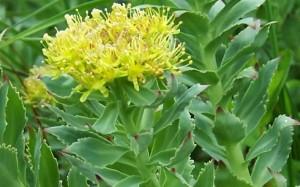 Купить семена, растение – Родиола розовая, или золотой корень (Rhodiola rosea)