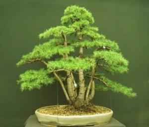 Купить семена, растение – Кедр ливанский (Cedrus libani)