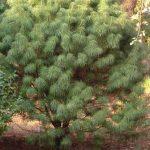 Купить семена, растение – Катайя серебристолистная (Cathaya argyrophylla)