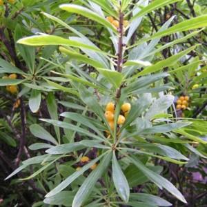 Купить семена, растение – Волчеягодник белоцветковый (Daphne mezereum var. Album)