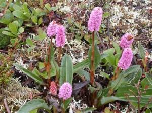 Купить семена, растение – Горец змеиный (Polygonum bistorta)