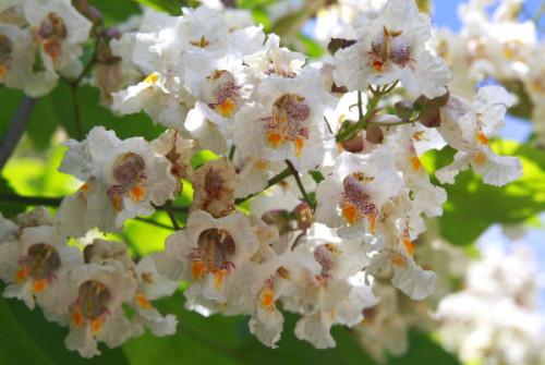 Купить семена, растение – Катальпа прекрасная (Catalpa speciosa)