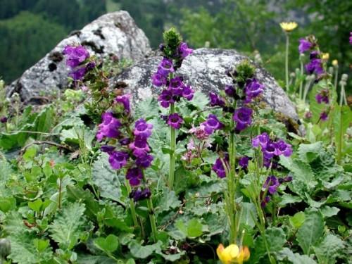 Купить семена, растение – Хорминум пиренейский (Horminum pyrenaicum)