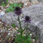 Купить семена, растение – Кольник чёрный (Phyteuma nigrum)