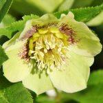 Купить семена, растение – Морозник Рождественская роза (Helleborus niger)