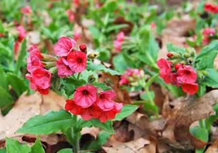 Купить семена, растение – Медуница красная (Pulmonaria rubra)