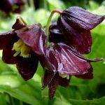 Купить семена, растение – Рябчик камчатский (Fritillaria camschatcensis)