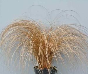 Купить семена, растение – Осока Буханана (Carex buchananii)