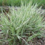 Купить семена, растение – Фаларис 'Picta' (Phalaris arundinacea)