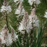 Купить семена, растение – Асфоделус белый (Asphodelus albus)