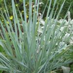 Купить семена, растение – Колосняк песчаный (Elymus arenarius)