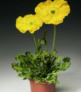 Купить семена, растение – Мак голостебельный желтый (Papaver nudicaule)