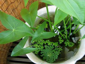 Купить семена, растение – Стрелолист, или Болотник (Sagittaria sagittifolia)