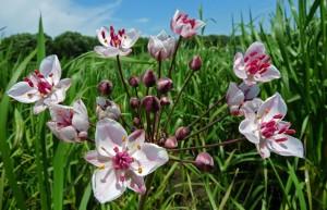 Купить семена, растение – Сусак зонтичный (Butomus umbellatus)
