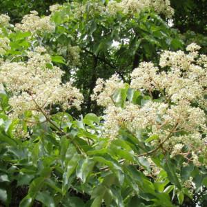 Купить семена, растение – Эводия Даниэля (Euodia daniellii)
