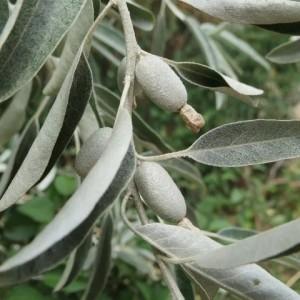 Купить семена, растение – Лох узколистный (Elaeagnus angustifolia)