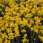 Купить семена, растение – Генистелла крылатостебельная (Genistella sagittalis)