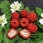 Купить семена, растение – Тибетская малина (Rubus rosifolius)