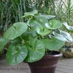 Купить семена, растение – Фарфугиум японский (Farfugium kaempferi)
