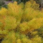 Купить семена, растение – Амсония восточная (Amsonia orientalis)