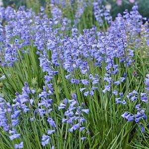 Купить семена, растение – Бримёра аметистовая (Brimeura amethystina)
