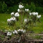 Купить семена, растение – Рододендрон Мори (Rhododendron morii Hayata)