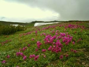 Купить семена, растение – Рододендрон камчатский (Rhododendron camtschaticum)