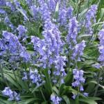 Купить семена, растение – Гиацинтоидес испанский (Hyacinthoides hispanica)
