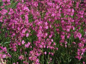 Купить семена, растение – Смолка клейкая (Viscaria vulgaris)