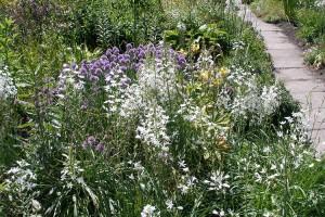 Купить семена, растение – Птицемлечник понтийский (Ornithogalum роnticum)