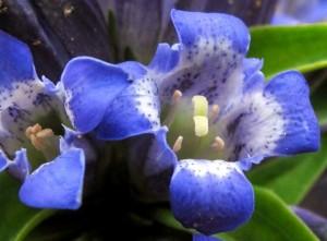 Купить семена, растение – Горечавка крестовидная (Gentiana cruciata)