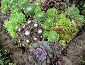 Купить семена, растение – Молодило карликовое (Sempervivum pumelum)