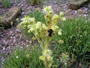 Купить семена, растение – Молодило русское (Sempervivum ruthenicum)