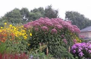 Купить семена, растение – Посконник пурпурный (Eupatorium purpureum)