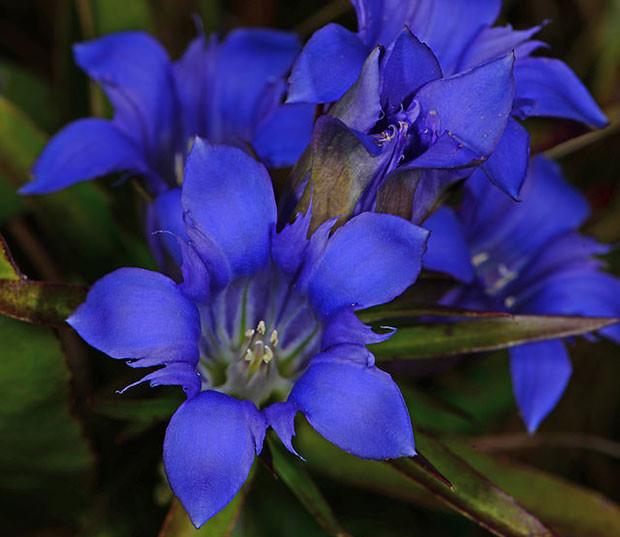 Купить семена, растение – Горечавка легочная (Gentiana pneumonanthe)