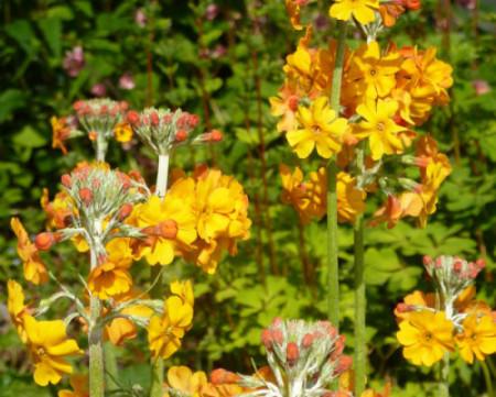 Купить семена, растение – Примула Буллея (Primula bulleyana)
