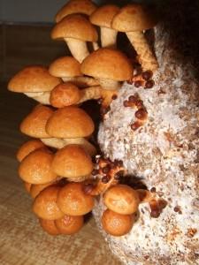 Купить мицелий Опенок японский, Фолиото намеко (Pholiota nameko)