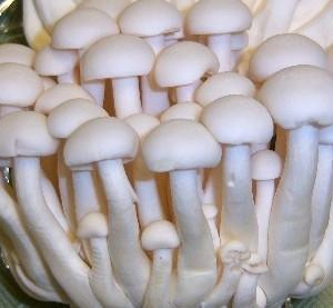 Купить мицелий Опенок белый мраморный (Hypsizygus marmoreus white)