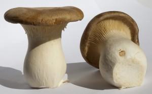 Купить мицелий Белый степной гриб (Pleurotus eryngii)
