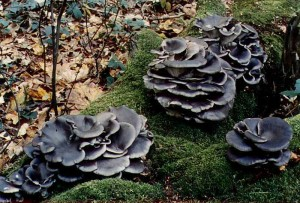 Купить мицелий Вешенка синяя (Рleurotus columbinus)
