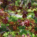 Купить семена, растение – Клен остролистный Шведлера (Acer platanoides Schwedleri)