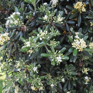 Купить семена, растение – Питтоспорум тобира (Pittosporum tobira)