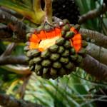 Купить семена, растение – Пандан полезный (Pandanus utilis)